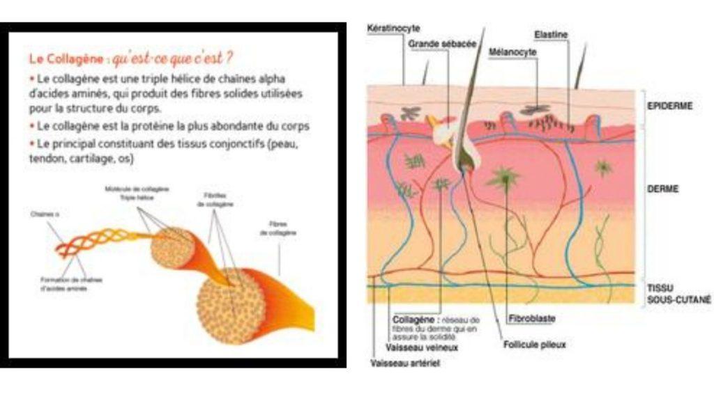 structure-du-collagene-dans-la-peau